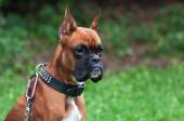 Boxer dog portrait close up — Stock Photo