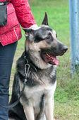 German shepherd sitting near the human legs — Stock Photo