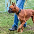 Boxer dog going near the legs of his master — Stock Photo #53480513
