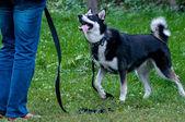 Husky dog looking for his master on the dog training — Zdjęcie stockowe