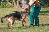 German Shepherd dog attacking on the dog training course — Stock Photo