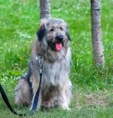 South Russian Shepherd dog sitting near the human legs — Stock Photo