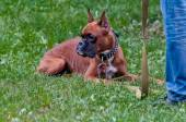 Boxer dog training - order laying — Stock Photo