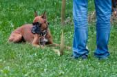 Boxer dog training - order laying — Stockfoto