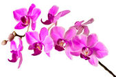 Illustration of the Pink streaked orchid flower, isolated — Stock Photo