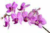 Illustration of the violet streaked orchid flower, isolated — Stock Photo