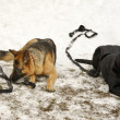 Two big dogs laying on the snow — Stock Photo #63216353