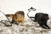 Two big dogs laying on the snow — Stock Photo