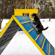 Miniature schnauzer jumping hurdle in a dog agility training area in a winter day — Stock Photo #65660985