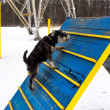 Miniature schnauzer jumping hurdle in a dog agility training area in a winter day — Stock Photo #65661459