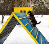 Miniature schnauzer jumping hurdle in a dog agility training area in a winter day — Stock Photo