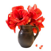 Red amaryllis on white background — Stock Photo