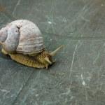 Helix pomatia, common names the Burgundy snail, Roman snail, edible snail or escargot — Stock Photo #73495719