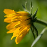 Macro of Rudbeckia hirta flower, Asteraceae spp, kwnon as Black-eyed Susan. — Stock Photo #77346434