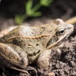 Close up frog on a background of grass in natural habitat — Stock Photo #80862312