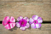 Natural wooden background with bright phlox flowers — Stock Photo