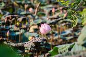 Lotus flowers — Stock Photo