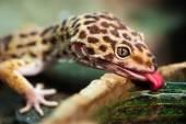 Leopard gecko (Eublepharis macularius) — Stock Photo