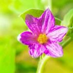 Close-up of fresh flower solanum, thai eggplant background in ga — Stock Photo #63950845