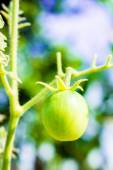 Close-up of fresh immature cherry tomatoes in garden — Stock Photo