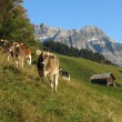 Grazing calves in Glarus — Stock Photo #56085833