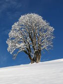 Maple Tree On A Winter Day — Stock Photo