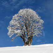 Beautiful Maple Tree — Stock Photo