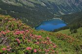 Alpenrosen and lake Arnensee — Stock Photo