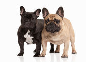 Two French bulldog puppies on white background — Stock Photo