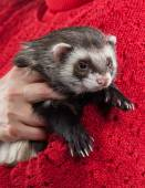 Young ferret on white background — Stock Photo