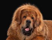 Dog. Tibetan mastiff on black background — Zdjęcie stockowe