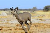 Muddy Kudu running — Stock Photo