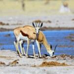Springbok drinking water — Stock Photo #62000099