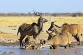 Kudu's drinking water — Stock Photo