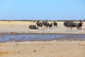 Blue wildebeest and springbok at waterhole — Stock Photo