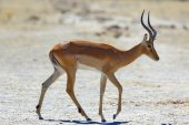 Impala at the waterhole — Stock fotografie