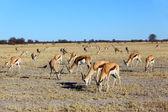 Springbok grazing — Stock Photo
