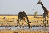 Giraffe drinking water at the waterhole — Stock Photo