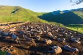 Sheep overnight in the kraal — Stock Photo