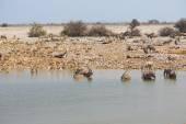 Wildlife drinking water — Zdjęcie stockowe