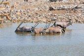 Oryx drinking water in Etosha NP — Stock Photo