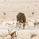 Giraffe and springbok drinking water — Stock Photo #66151119