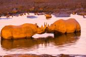 Two black rhinos in the waterhole — Stock Photo