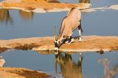 Oryx drinking water — Stock Photo