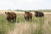 Three white rhino's — Foto de Stock