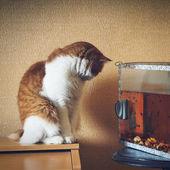 Red cat near aquarium at home awaiting wish — Stock Photo