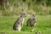 Rabbit, Oryctolagus cuniculus — Stock Photo