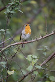 Robin, Erithacus rubecula — Stock Photo