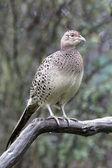 Common pheasant, Phasianus colchicus — Stock Photo