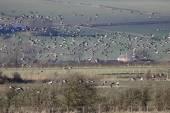 Barnacle Geese, Branta leucopsis — Stockfoto
